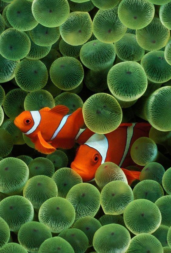 Original iPhone Background Wallpaper - Clownfish
